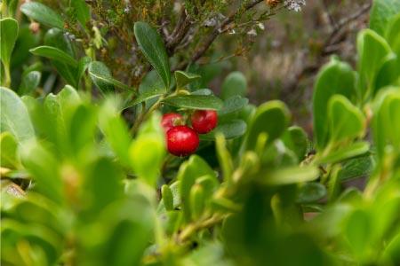 uva ursi bearberry for uti natural treatment