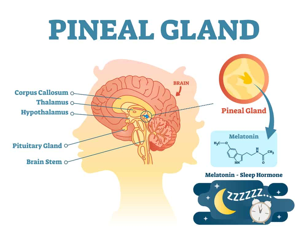 Pineal Gland Location